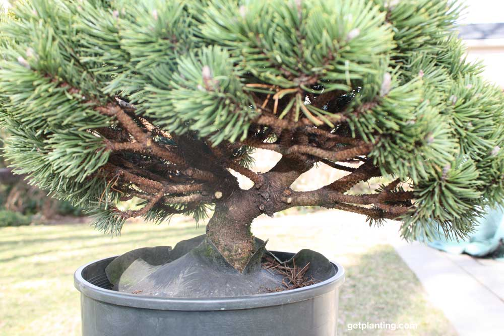Mugo Pine Bonsai First Trim The Back