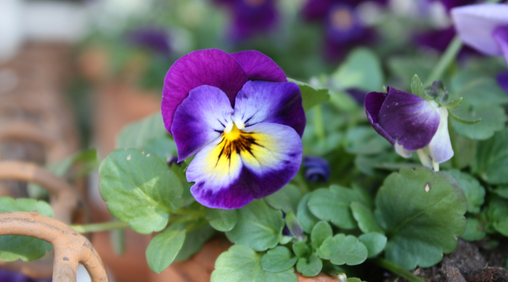 Pansy_potted