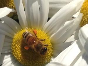 bee montauk daisy get planting