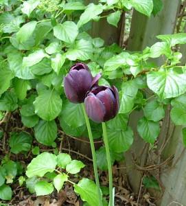 Black Emperor Tulip