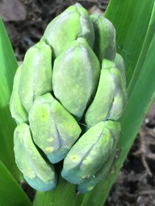 Hyacinth buds emerging