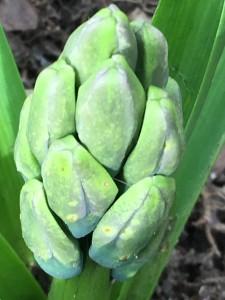 Hyacinth buds emerging