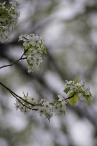 Flowering plum 04-16