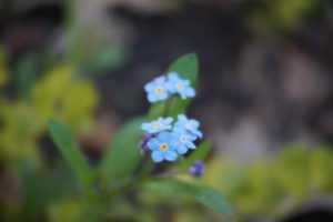 Forget Me Not 04-30-16