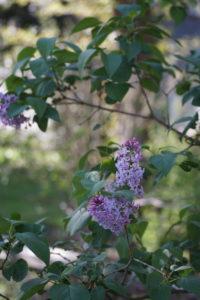 Lilac 04-20-16
