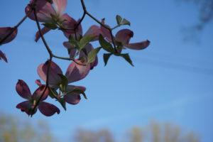 Pink Dogwood 04-30-16