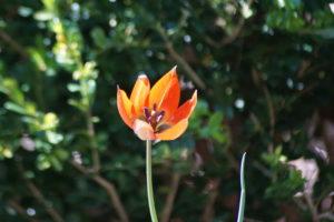 Tulip orphaeda flava small